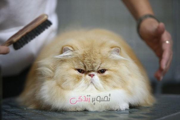 پشمالوترین گربه های جهان - عکس گربه