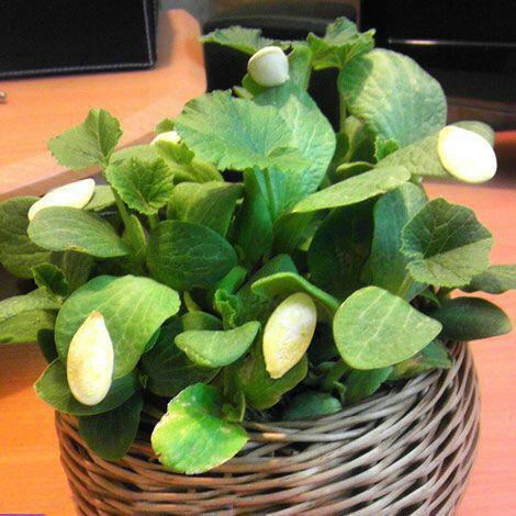 کاشت سبزه عید با تخمه کدو