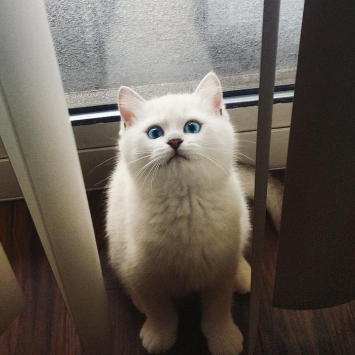 چشمهای زیبا , گربه چشم آبی
