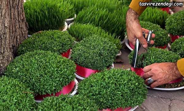کاشت انواع سبزه