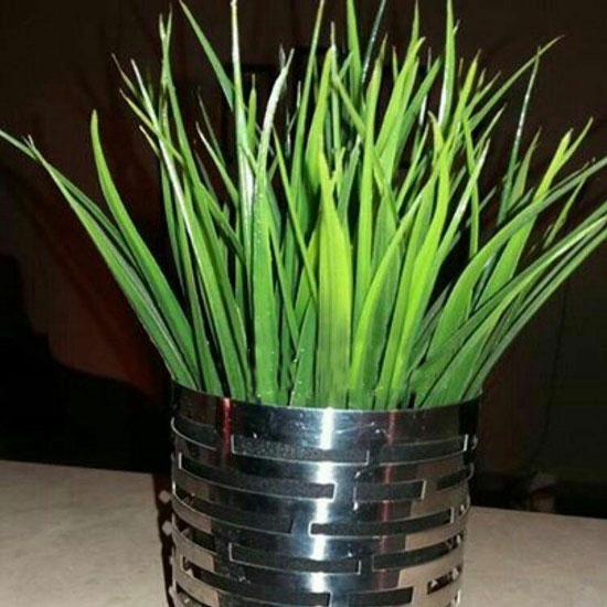 کاشت سبزه هسته خرما