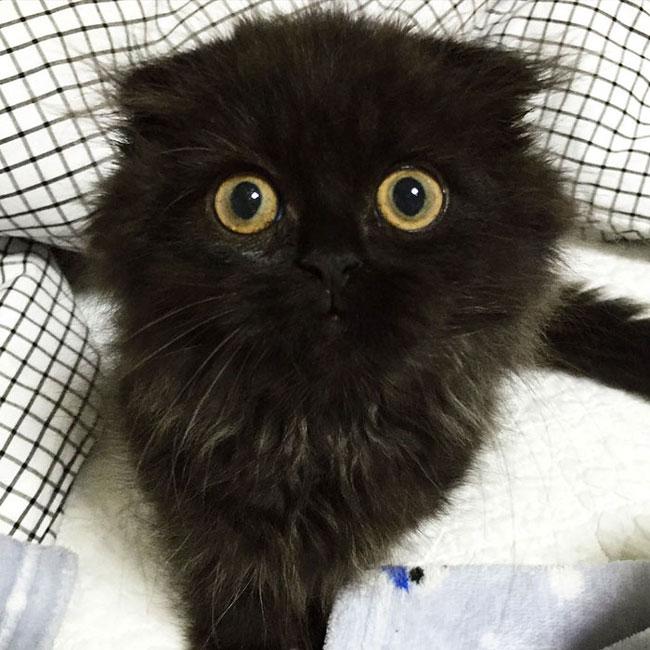 گربه چشم درشت