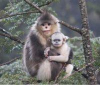 غمگینترین میمون جهان