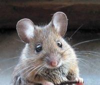 خورده شدن جسد توسط موش