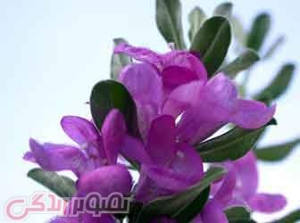 تقویت قوای جنسی با گیاه مریم گلی