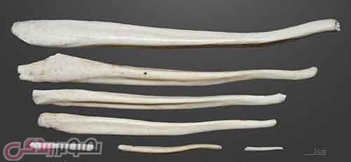 بدن انسان  , پیشتر آلت تناسلی مردان دارای استخوان بوده است + عکس آلت تناسلی استخوانی مردان