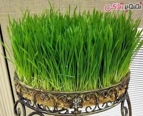 کاشت سبزه عید نوروز 98