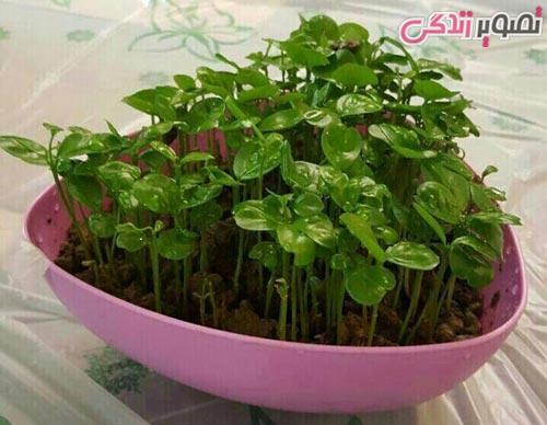 سبزه عید با بذر سیاه دانه زمان کاشت سبزه عید نوروز