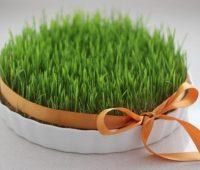 روش کاشت سبزه نوروز