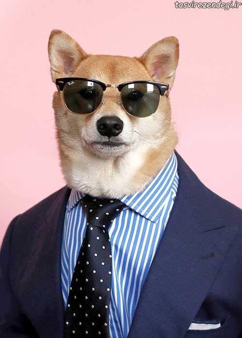 تصاویر سگ مدل لباس مردانه با در امد میلیونی