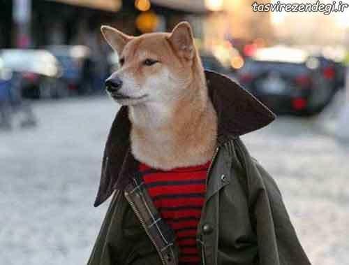 عکس سگ مدلینگ لباس