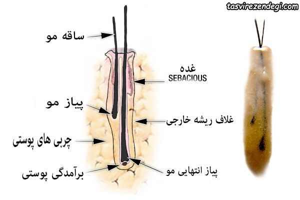 ساختار موی سر