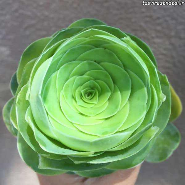 Greenovia Dodrentalis , زیباترین کاکتوس به شکل رز