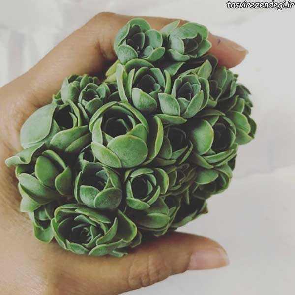 زیباترین کاکتوس جهان, کاکتوس به شکل گل رز