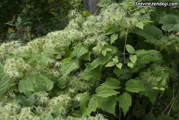 داروی گیاهی برای درمان خروپف