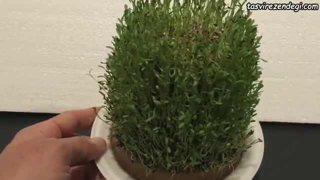 سبز کردن سبزه شاهی