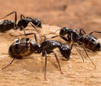 سمپاشی مورچه نجار