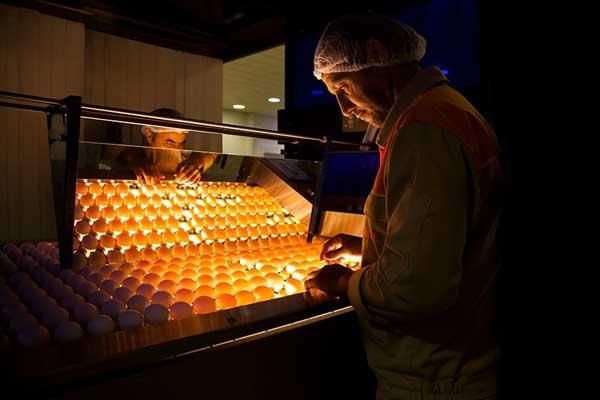 انتخاب تخممرغهای مرغوب برای تولید سفیده تخممرغ تلاونگ