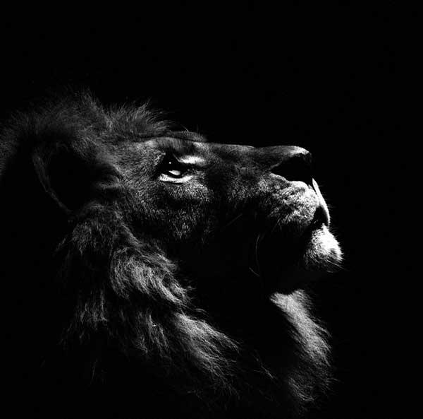 عکس سیاه سفید شیر جنگل
