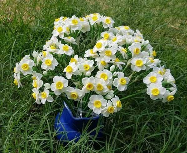 گل نرگس شیرازی