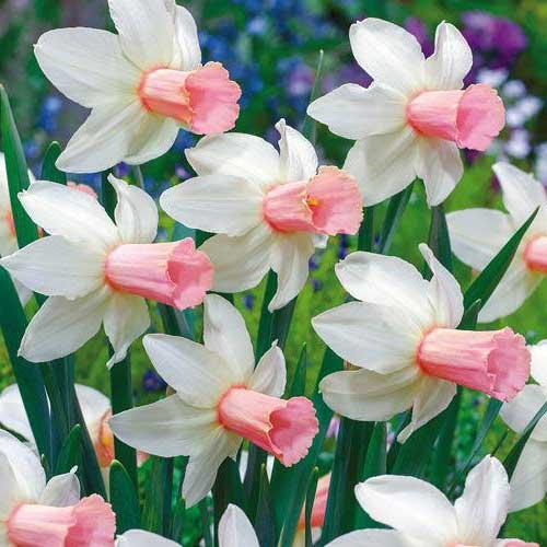 گل نرگس هلندی سفید صورتیگل نرگس