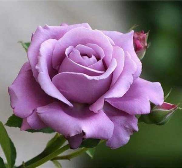 گل رز یاسی