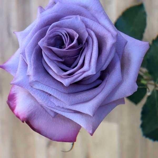 عکس پروفایل گل رز یاسی رنگ