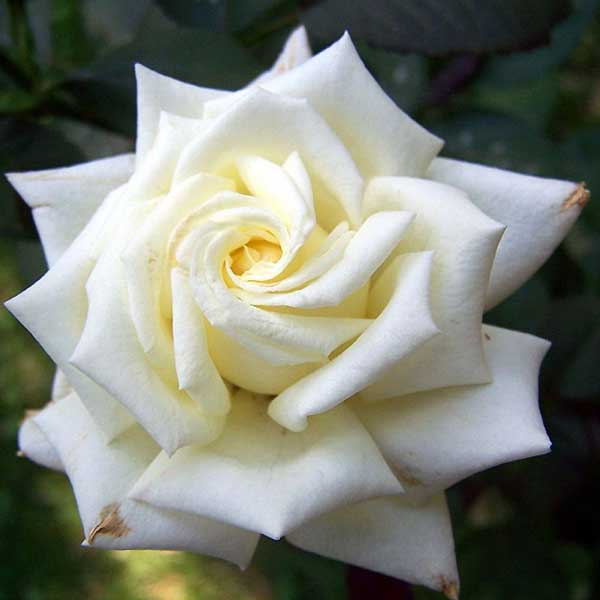 عکس پروفایل گل رز سفید