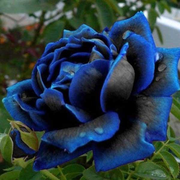 عکس پروفایل گل رز آبی سیاه