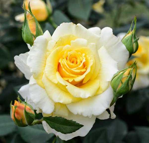 عکس پروفایل گل رز زرد سفید