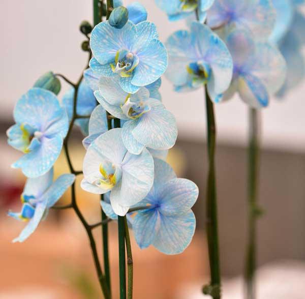 عکس پروفایل گل ارکیده آبی