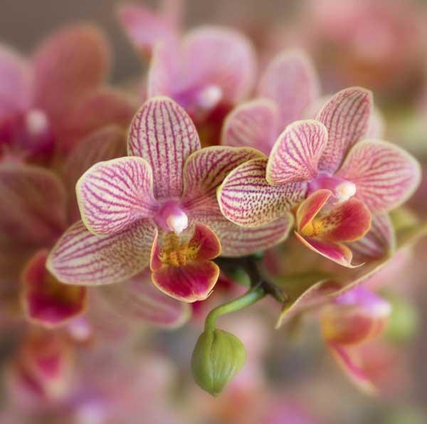 ارکیده گلبهی رنگ