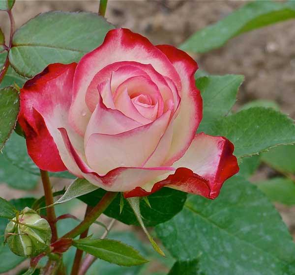 گل رز دو رنگ