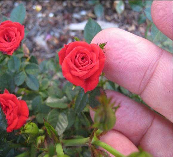 گل رز کوچک