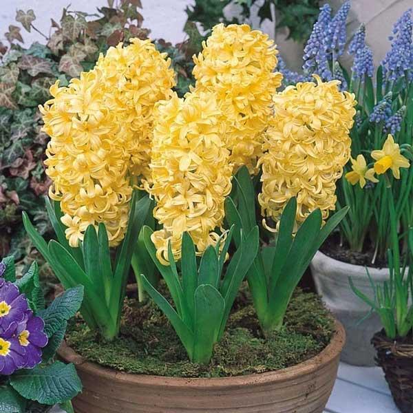 عکس گل سنبل زرد