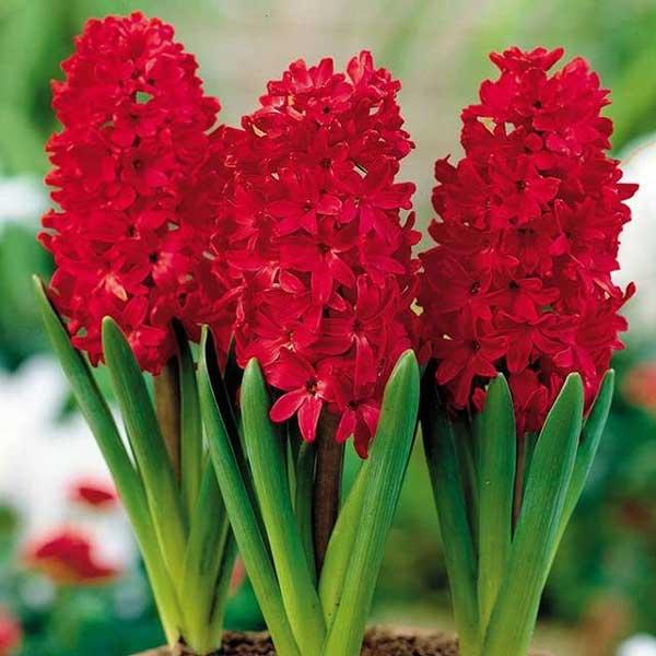 عکس گل سنبل قرمز