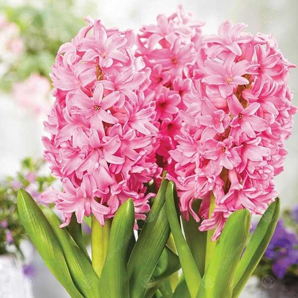 عکس گل سنبل صورتی
