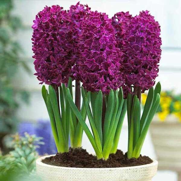 عکس گلدان گل سنبل