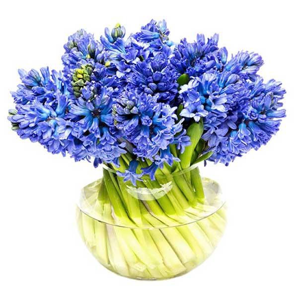 عکس پروفایل گل سنبل آبی